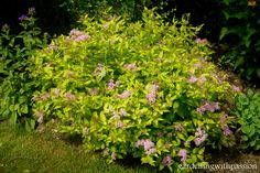 Spiraea japonica (Japanese spirea)