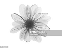 x ray of a daisy yas