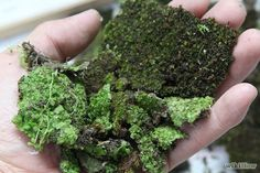 Step 2- Prepare the Moss by washing it so as to get as much soil out as possible.