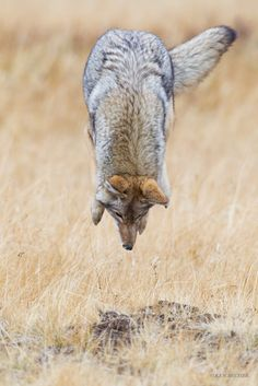High Flying Coyote