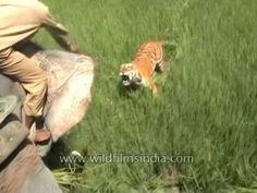 Surprise bengali tiger attack on man on elephant Tiger Attack, Animal Attack, Angry Tiger, Majestic Horse, Creature Feature, Big Cats, Baby Animals, Scary, Creepy