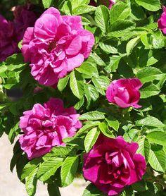 Rosa 'Hansa' (rugosa-ryhmä) - hansaruusu