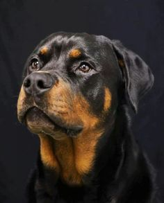 Rottweiler...looks very much like princess
