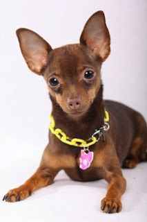 Deer head chihuahua...pastel promised to get me one someday. I am planning on holding him to that!