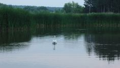 A swan on the pond.