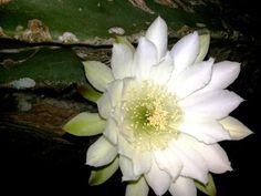 Flor de Mandacaru, ela desabrocha apenas a noite, pela manhã se fecha.