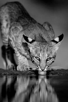 svart Panthera Pussy pics