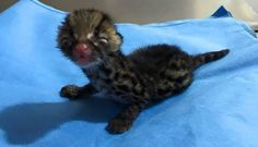 Tiniest Jungle Cat Rescued After Losing His Mom In Fire. A newborn margay recently rescued in Guatemala is so cute!