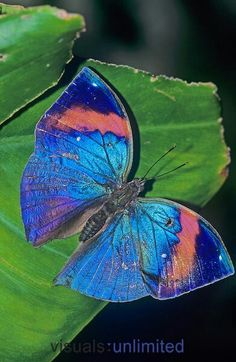 indian leaf butterfly.