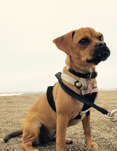 Bella puggle - dominates Drake's Beach. Inverness, California