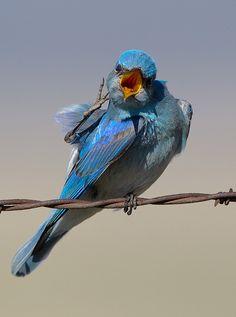 Mountain Bluebird by Tim Kuhn Photography, via Kinds Of Birds, All Birds, Love Birds, Pretty Birds, Beautiful Birds, Colorful Birds, Exotic Birds, Bird Watching, Bird Feathers