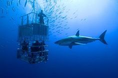 Bucket list: plan an adventure to cage dive with Great White Sharks! Here's to hoping the shark gets to check off another item on his bucket list; Munch on stupid humans! Shark Diving, Scuba Diving, Cage Diving With Sharks, Diving Helmet, Diving Suit, Cave Diving, Shark Cage, Le Zoo, Do It Yourself Inspiration