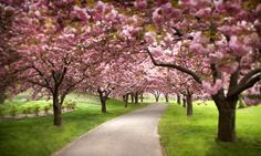 cherry trees | Cherry trees blossoming in park. Photograph: David Sacks/Getty Images