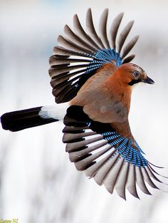 The Indian Roller is distributed across Asia, from West Asia (Iraq), through the Indian Subcontinent (including Sri Lanka and the islands of Lakshadweep and Maldive Islands) into Southeast Asia.