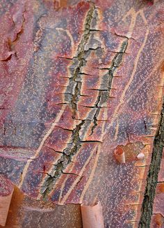 Peeling Bark Maple (Acer griseum) by ngawangchodron, via Flickr