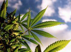 Otra de las plantitas que forman parte de las bellezas de la naturaleza es la cannabis, la cual ha causado mucha controversia y opiniones variadas respecto a su uso y consumo. Hay quienes motivan o excusan el consumo de lamarihuana, mientras otros tratan de desalentarlo. En realidad, fumar marihuana no es ninguna acción que esté…