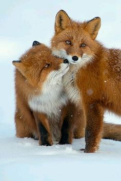 emotions are seen in wildlife ... foxes ...