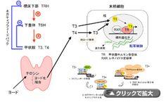 甲状腺ホルモンの作用と甲状腺ホルモン受容体