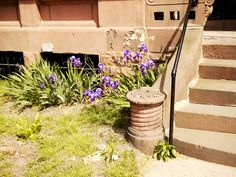 Clinton Hill Irises