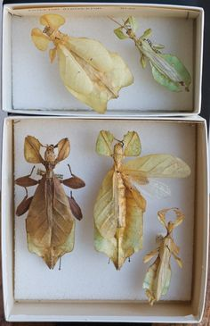 treasurefield:    teresawillcox:      'Leaf insects', Phasmida, walking sticks    nature's art.    This MUST be how fairies were dreamt up.  Not that fairies aren't real…