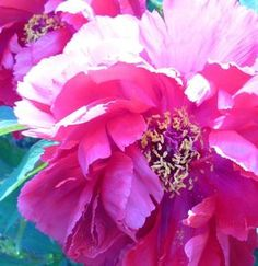 How to mix acrylic and pastel to paint a peony: Peony Exuberance