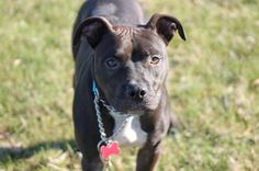 Meet Serrano Pepper, a Petfinder adoptable American Staffordshire Terrier Dog | Salem, OR | Serra (Serrano Pepper)Serra is a 15 month old Pit Bull type dog. She is roughly 39 pounds, and...