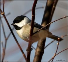 Chickadees regularly dine at our feeders... Spring 2013