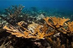 Laboratory-bred corals reproduce in the wild: New hope for endangered corals: Scientists take an important step towards sustainable restoration of Caribbean reefs Conservation, Elkhorn Coral, International Jobs, All About Water, Ocean Depth, Us Virgin Islands, Environmental Issues, Habitats, Sustainability