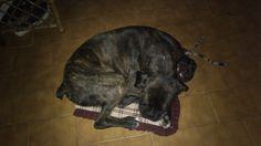 Rocco descansando.