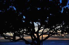 Tree/ Ko Olina. Couché de soleil/sunset.