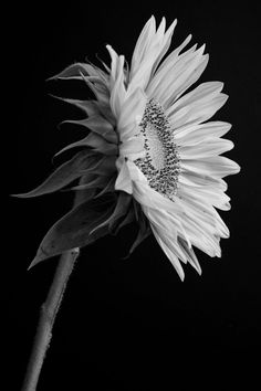 photography lighting and white photography Sunflower Black and White standout print, flower photography, Flower Sill Life Print, several sizes available Black Aesthetic Wallpaper, Gray Aesthetic, Black And White Aesthetic, Aesthetic Backgrounds, Aesthetic Vintage, Aesthetic Women, Aesthetic Grunge, Aesthetic Fashion, White Aesthetic Photography