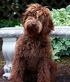 One day Beatrice will have a Labradoodle for a best friend....