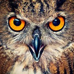 Eagle Owl Eyes | Flickr – Compartilhamento de fotos!
