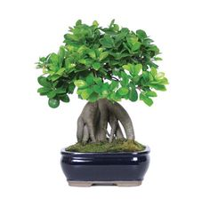 The Ginseng Grafted Ficus Bonsai Trees are the embodiment of strength and are world renown for their exposed, thick roots that give the tree an exotic look. These trees have clusters of oval shaped, glossy green leaves that make up their compact foliage over the exposed roots. They are perfect for indoor setting because they have the ability to tolerate and even thrive in low light settings. Add this to your home decor or office decorations!