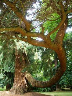 Original Douglas fir tree (planted 1826), Scone Palace grounds, Perthshire, Scotland - photo by Serious Reader (2010)