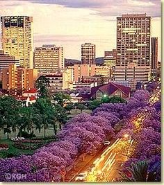 October in Pretoria, South Africa. In the older parts of the city the streets are lined with 15000 Jacaranda trees.