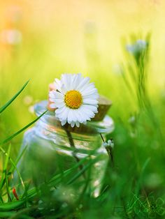 daisy in a bottle in green grass