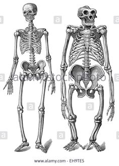 comparison between human and gorilla skeletons. (gorilla in non, Skeleton