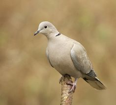 Collared dove - always seem very calm when they visit to look for fallen seed.