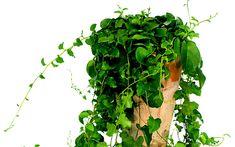 Peru-Portulak (Pflanze) Schöne Rankepflanze mit duftenden Blüten essbar sind die sehr weichen, großen sukkulenten Blätter - wie Portulak -, und die nahrhaften knolligen Rhizome. Auch gut als Ampelpflanze, leicht zu ziehen und trockenresistent - sie zieht einfach ein, und verliert die Blätter, wenn kein Wasser mehr an die Wurzeln kommt. Weiße, honigduftende Blüten. ausdauernd  Höhe/Platzbedarf: 150/40