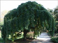 Morus alba Pendula - Pépinières entre Vannes, Ploermel et Redon, Plante de haie, erable, conifere, olivier, palmier - Les Pépinières Eric Duval à MOLAC