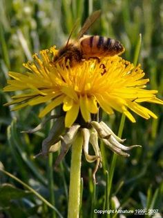 Dandelion Leaf, (Taraxacum officinale)  Properties and Uses: One of the best diuretics available. It eliminates edema and dropsy without robbing the body of potassium. It is especially good for those with congestive heart failure. It is an effective weight loss program. (weight loss herbs) (weight loss herbs)