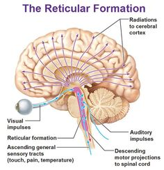 Brain Anatomy, Human Anatomy And Physiology, Medical Anatomy, Exploding Head Syndrome, Reticular Activating System, Cerebral Cortex, Limbic System, Cranial Nerves, Physical Therapy