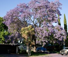 Jacaranda tree in bloom, Mountain View, California, USA