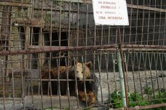 This bear - called Benny - was kept in poor conditions in Buhusi Zoo, Romania. He was rescued and transferred to the World Animal Protection-funded sanctuary in September World Animal Protection, Animal Welfare, Romania, Baby Animals, September, Wildlife, Bear, Baby Pets, Bears