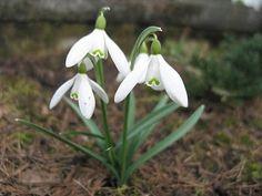 Naturalnie: Śnieżyczka przebiśnieg Snow, Plants, Flora, Plant, Eyes, Planting