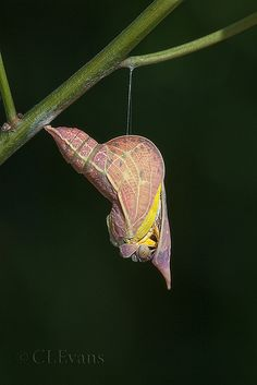 ˚Sulphur butterfly emerges from chrysalis