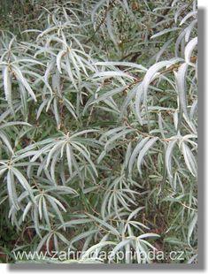 Rakytník řešetlákový, foto med Med, Herbalism, Gardening, Plants, Herbal Medicine, Lawn And Garden, Plant, Planets, Horticulture
