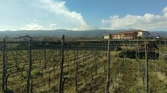 #Martinella #vineyards #Linguaglossa  Real time   #Vivera #Etna 🌋 #Winery  Mail ✉ info@vivera.it