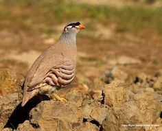 See-see Partridge Ammoperdix griseogularis - Google Search